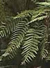 Trip to Madagascar, Fern tree, Ravo.Madagascar webmaster of Christian thought