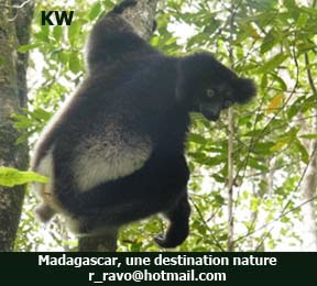 Indri Indri lemur, Photo KW ©, Travel and Trip, The East of Madagascar, a website of Ravo.Madagascar, webmaster of Christian thought