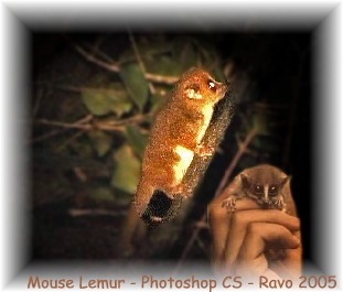 Mouse lemur or Microcebus sp, Madagascar