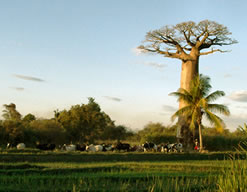 Baobab of Madagascar, Ravo.Madagascar pictures, webmaster of Christian thought