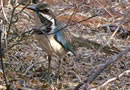 Madagascar Ifaty spiny forest for Birdwatching passionate people