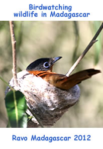 Madagascar a new destination for Birdwatching passionate people